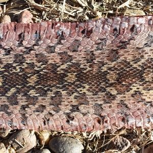 "Taxidermy 60"" Real Snake Skin Home Decor"